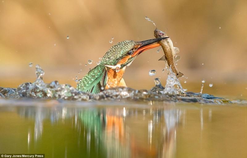 Фотоохота на зимородка окончилась невероятным успехом! животные, зимородок, птицы, птичья охота, уникальные снимки, фото, фотографии природы, фотоохота