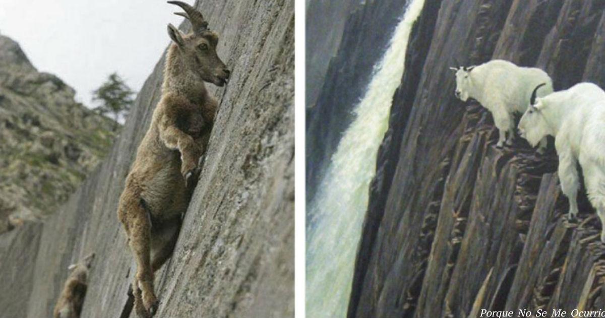 10 фото, доказывающих, что на козлов сила тяжести не действует