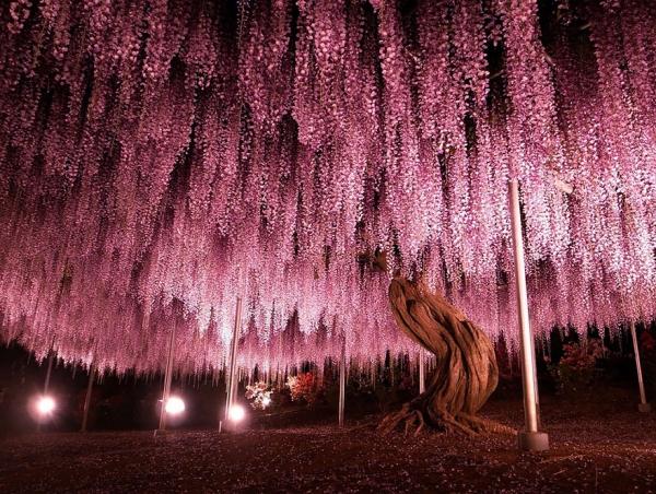 10 причин бросить всё и махнуть в Японию на фестиваль глицинии