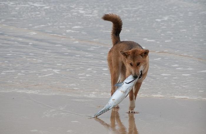 Самые древние и дикие собаки