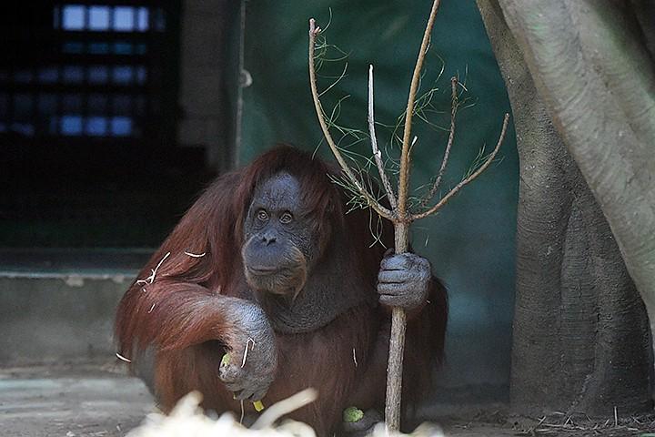 Орангутаны научились делать крючок из проволоки