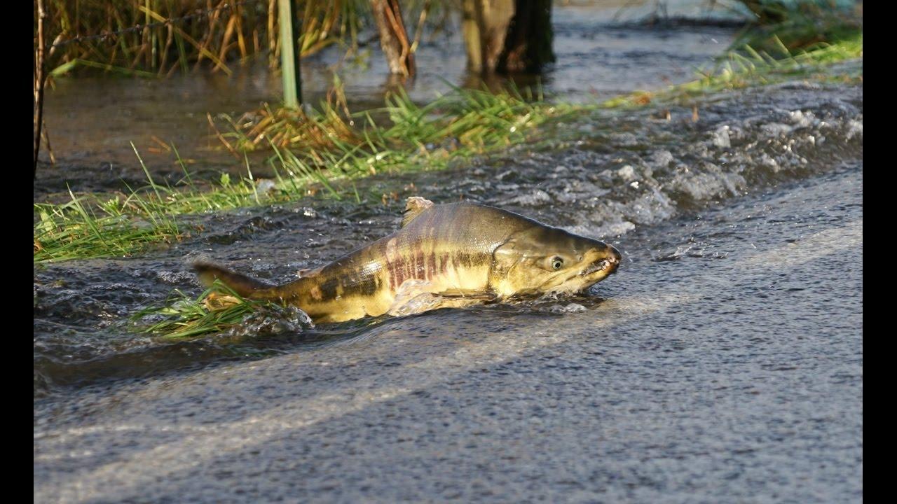 Встреча водителя и огромного лосося посреди дороги!