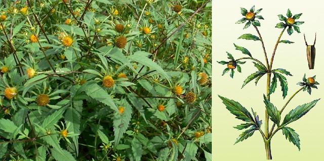 Лекарственная трава череда трехраздельная