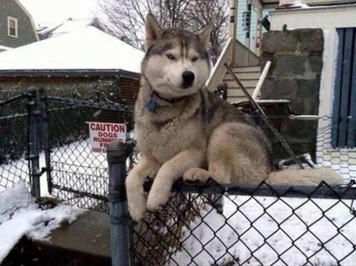 Собаки, которые ведут себя как кошки