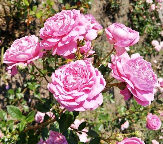 Розы - уход во второй половине лета