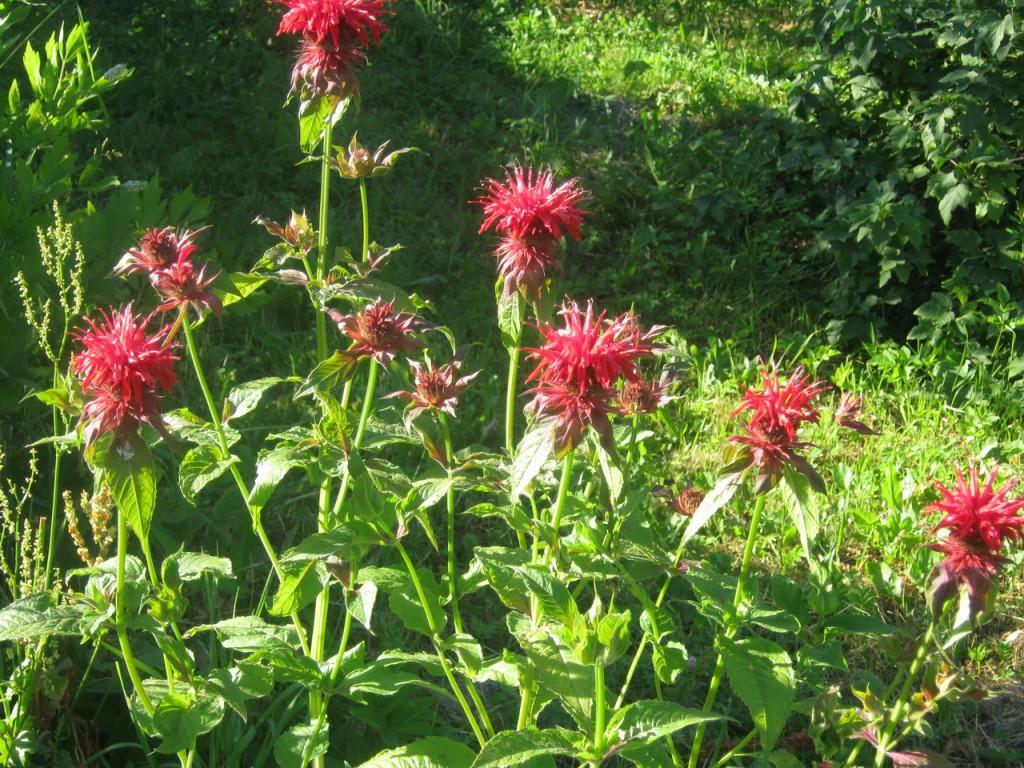 Монарда цветок фото свойства и значение