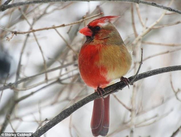 В Пенсильвании увидели уникального кардинала-химеру