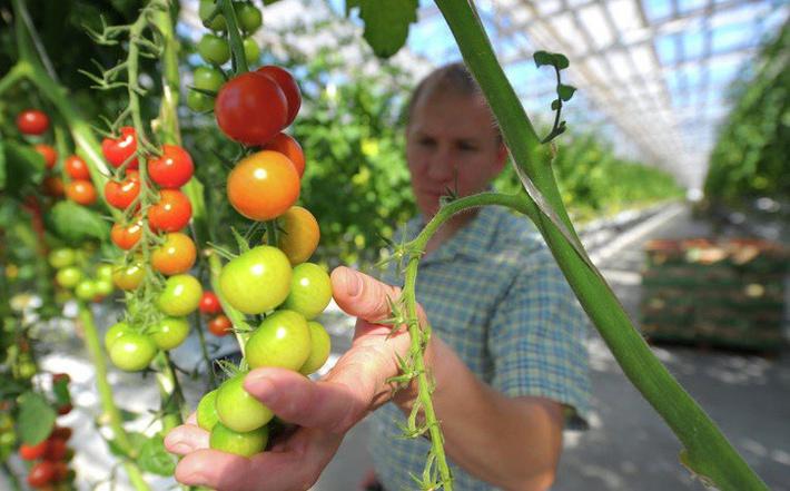 Минсельхоз России: на 25 октября сбор тепличных овощей вырос на 25%