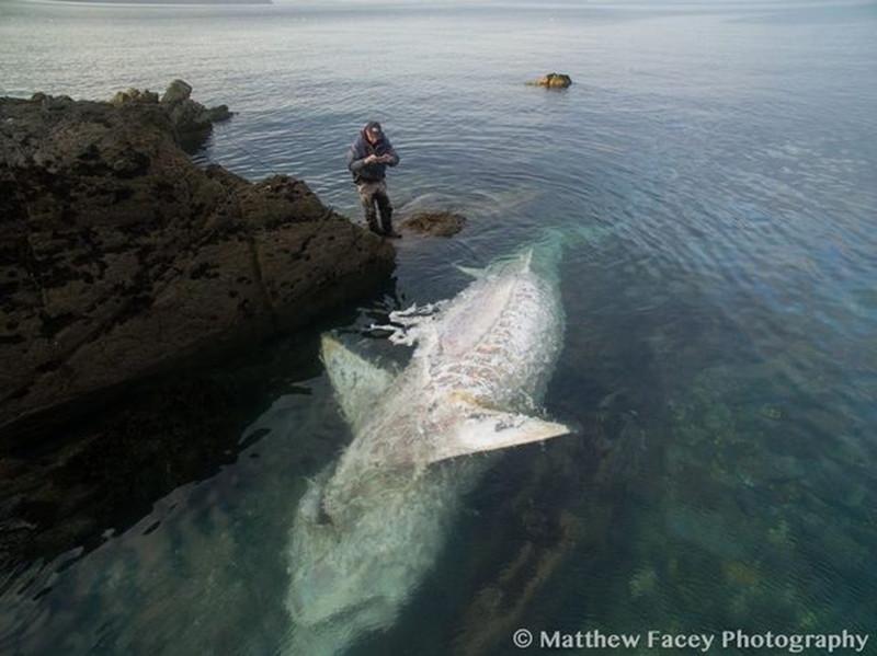 Восьмиметровую «акулу-монстра» выкинуло на скалы побережья Корниш