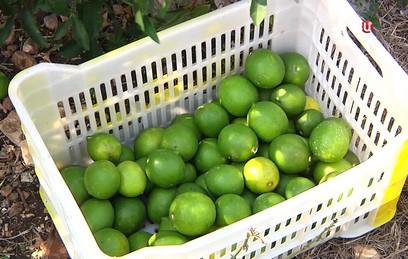 Лимоны и кабачки: в сирийской Латакии приступили к уборке урожая