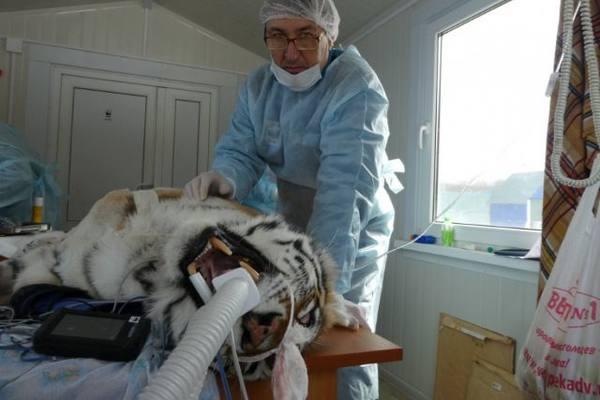 Пострадавшего от лап тигра Сотрудника WWF России выписали домой