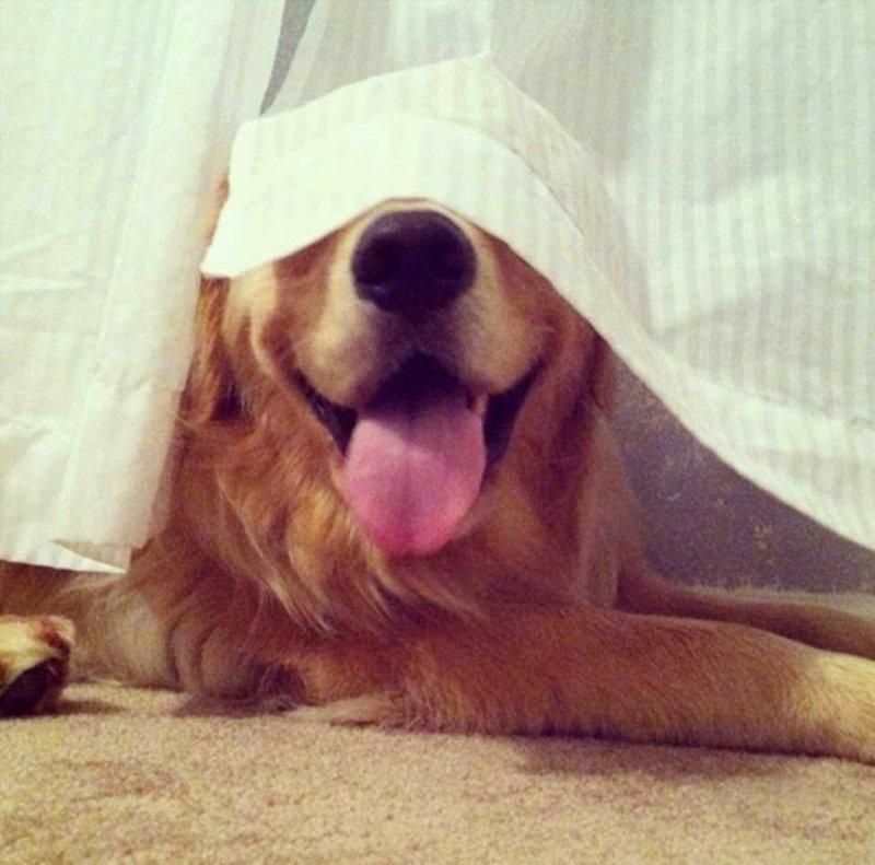 20 забавных фото собак, которые думают, что великолепно спрятались