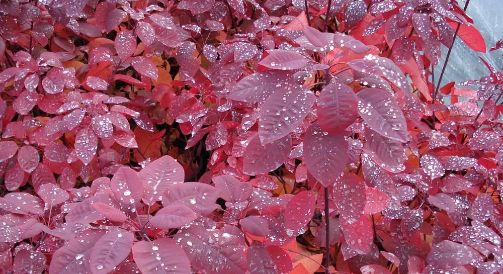 Выращиваем дымчатый розовый кустик скумпии