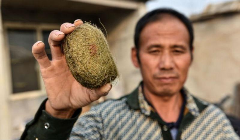 Китайский фермер обнаружил в желчном пузыре свиньи настоящее сокровище