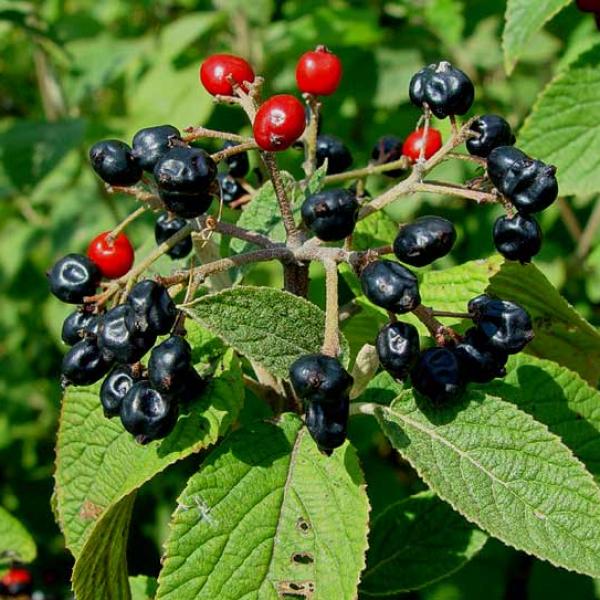 Садовая красавица - калина гордовина: посадка, уход, популярные сорта