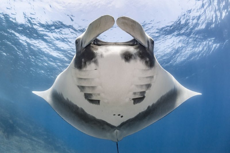 Скат надежды: подводный фотограф сделал первый за 16 лет снимок морского дьявола у берегов Мексики