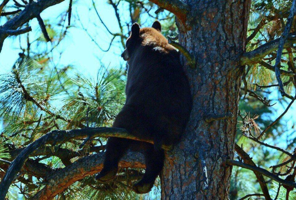 Медведь, уставший от лесной суеты...