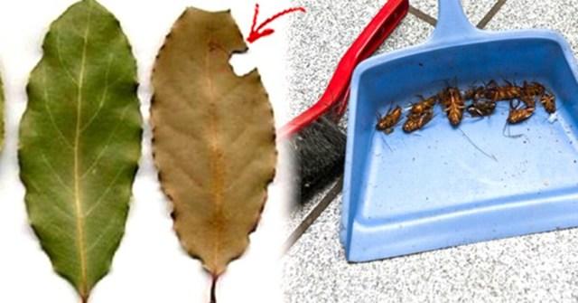 Вы больше никогда не увидите ни одного таракана! В каждом уголке вашего дома разместите несколько листьев этого растения.Попрощайтесь с ними навсегда!