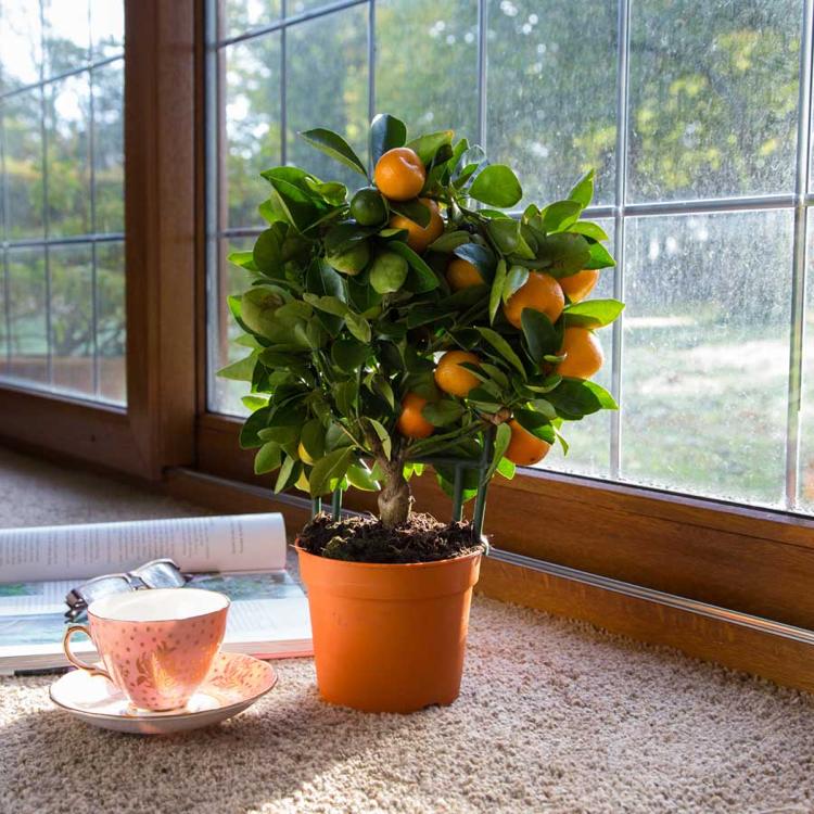 фруктовые (садовые) деревья в горшке