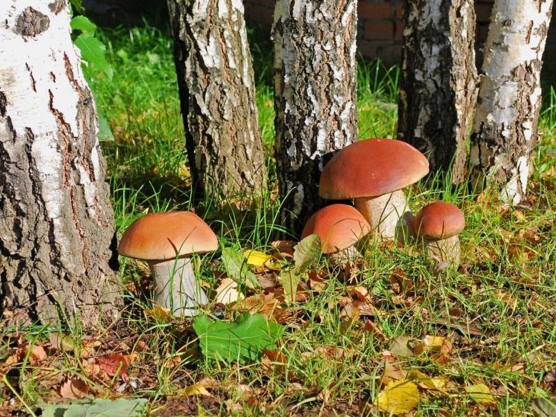 Нашли в лесу несколько белых грибов, но вместо того, чтобы их приготовить, сделали это…