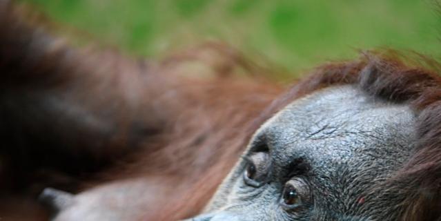 Очаровательные снимки новорождённого орангутана и его мамы умилили мир. Фото