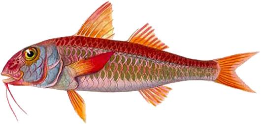 Барабулька – царская рыба и ловят её в Чёрном море