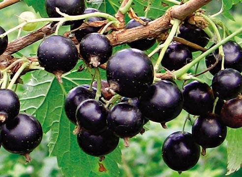 Лечебные растения черная смородина