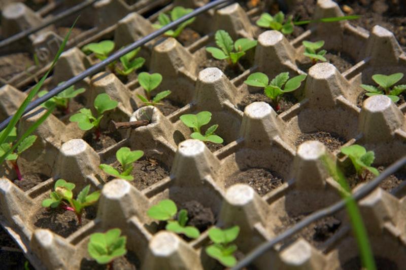 быстрое выращивание редиса