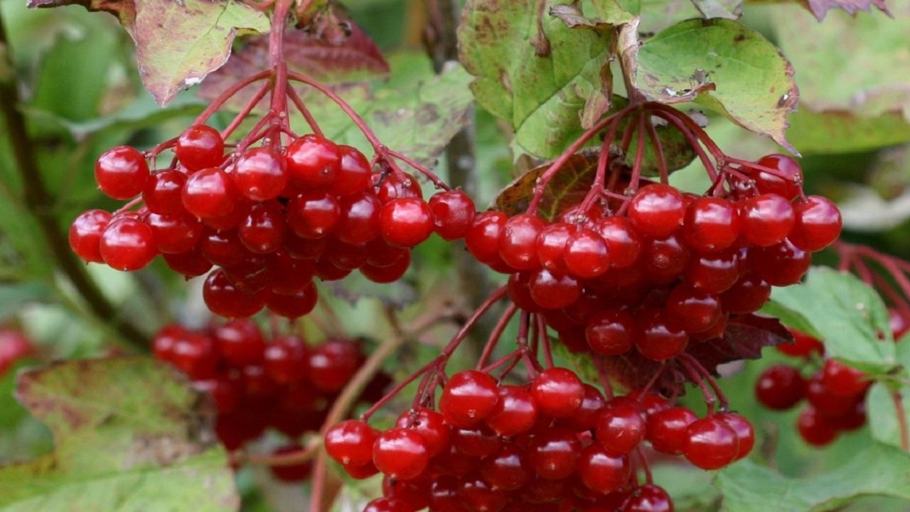 Что приготовить из ягод калины — интересные и простые рецепты