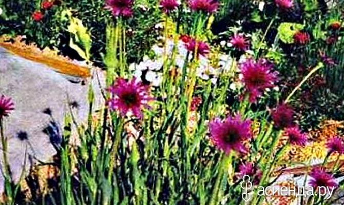 Овсяный корень или растительные устрицы