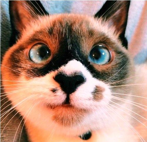Кошки, очарование моё... наевшись, оно ходит довольное предовольное. И урчит...