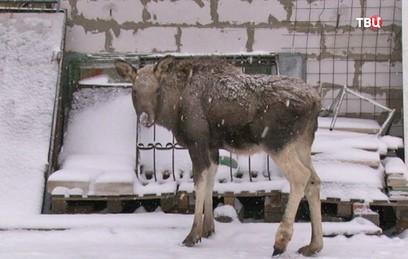 В Кемеровской области собирают средства на лечение маленького лосенка