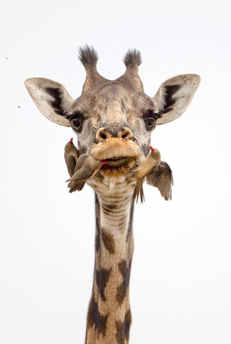 Жираф на приеме у крылатого …