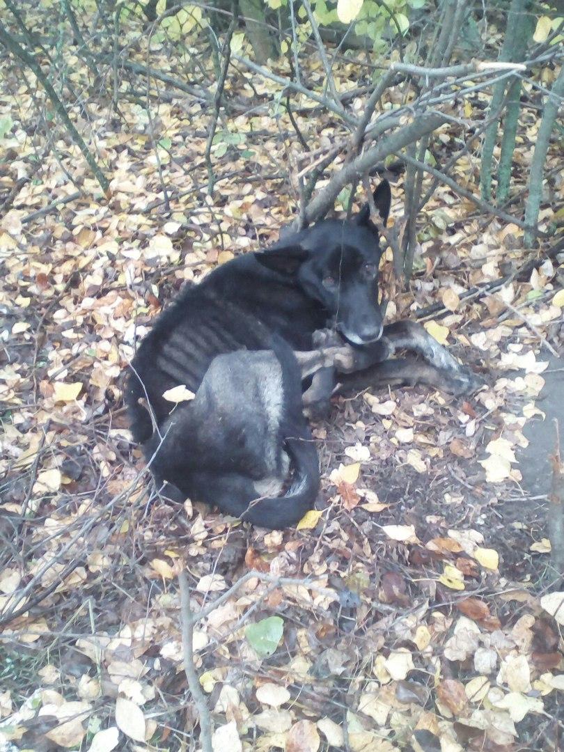 Грибники нашли в лесу собаку, которая угодила в охотничью удавку… Чак несколько недель просидел в ловушке, превратившись в скелет