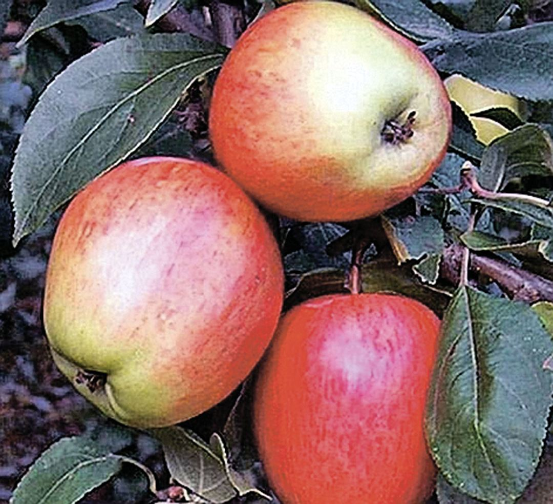 Лучшие сорта яблонь для Подмосковья: 5 видов, которые не болеют паршой