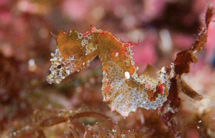 Ученые открыли новый вид морских коньков (ВИДЕО)