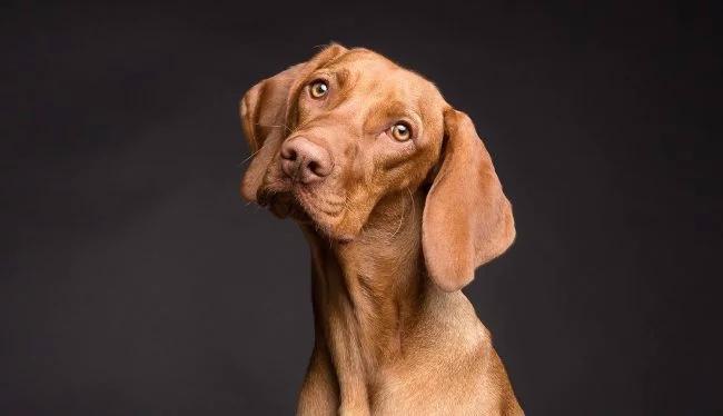 Томография доказала, что собаки действительно понимают человеческую речь