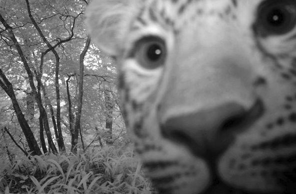 Очень фотогеничный леопард сделал «селфи»