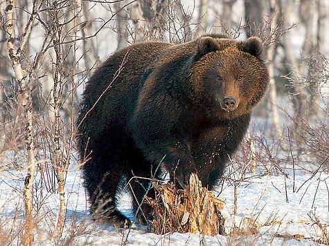 Охота на медведя: какой она должна быть