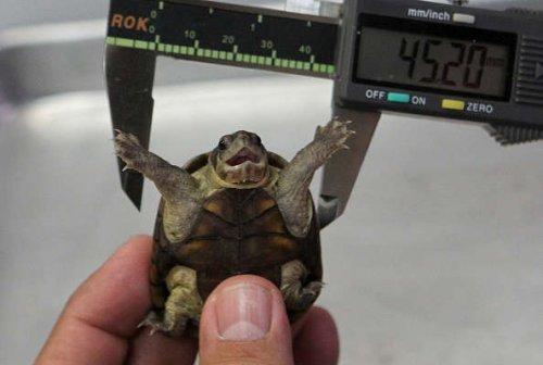 Ученые открыли новый и самый крошечный вид черепах в мире