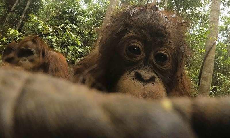 Орангутан нашел в лесу спрятанную камеру и начал делать селфи