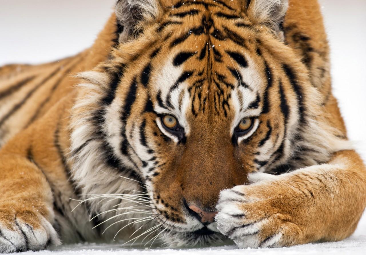 Такие разные тигры