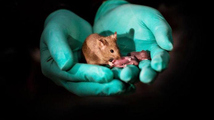 В Китае родились мышата от двух самок