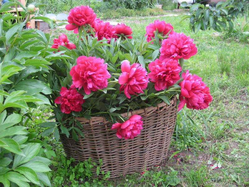 Как ухаживать за пионом после цветения