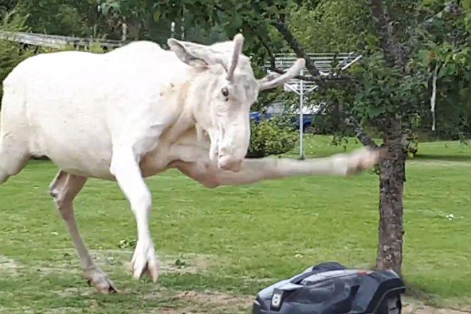 Огромный лось-альбинос подрался с газонокосилкой за территорию