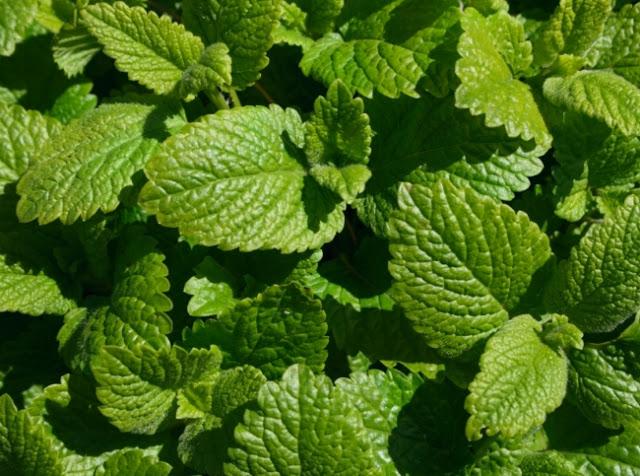 Аптекарский огород: Самые полезные лекарственные растения для дачи