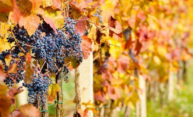 Как подготовить виноград к з…