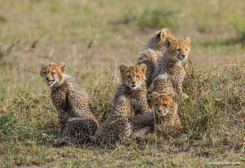 5 маленьких гепардов из Маса…