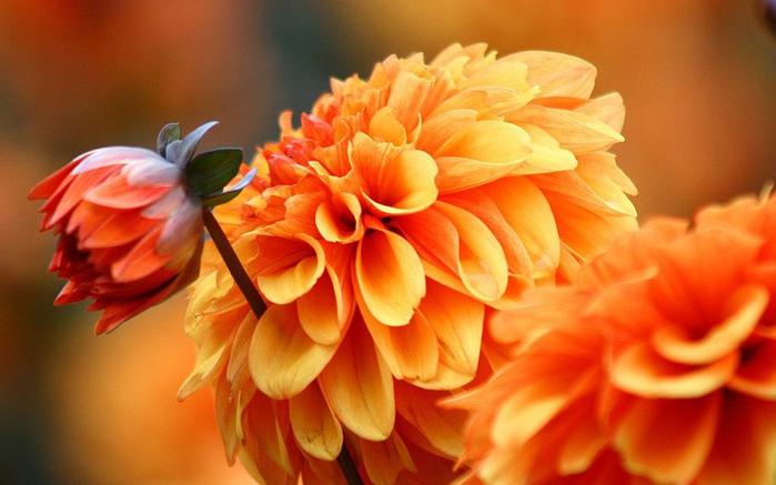 цветы осени 3 (700x437, 317Kb)