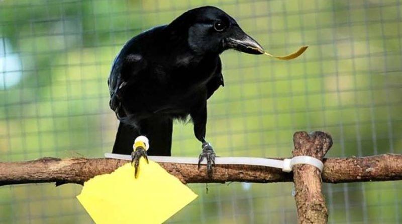 Как умные вороны меняют наше…